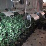 Desmantelada una red de origen chino que producía marihuana en Andalucía