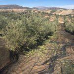 Jaén pone en marcha una aplicación que permitirá hacer test a temporeros de aceituna