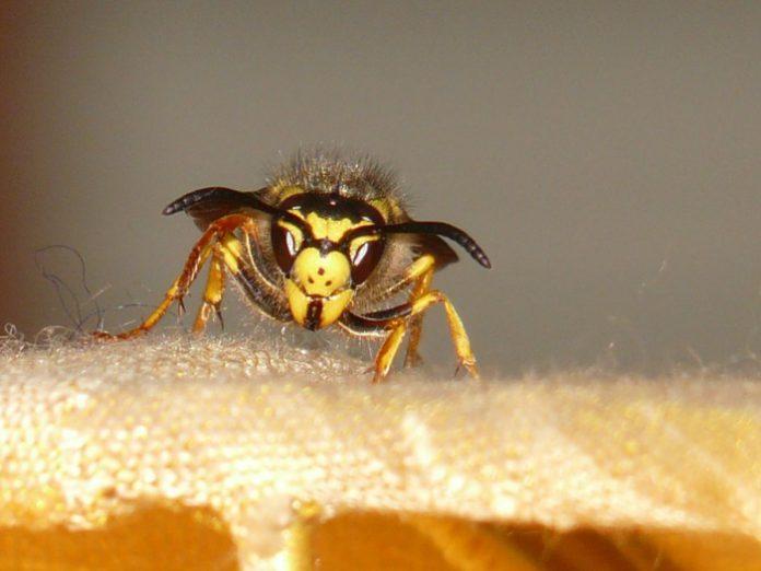 Usan hilo dental para localizar un nidos de avispones asesinos en Estados Unidos