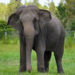 Matrimonio de filántropos crea un refugio para salvar a 30 elefantes asiáticos en Florida