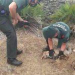 Liberan a un zorro atrapado en un cepo en una finca sevillana