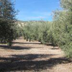 El Paisaje del Olivar andaluz anuncia su candidatura a Patrimonio Mundial de la UNESCO