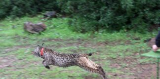 Ver en directo a linces o águilas imperiales en Sierra Morena desde casa ya es posible