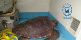 La Policía de Málaga rescata a una tortuga boba varada en la playa