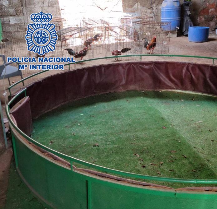 Detenido por criar 60 gallos destinados a peleas en Almería