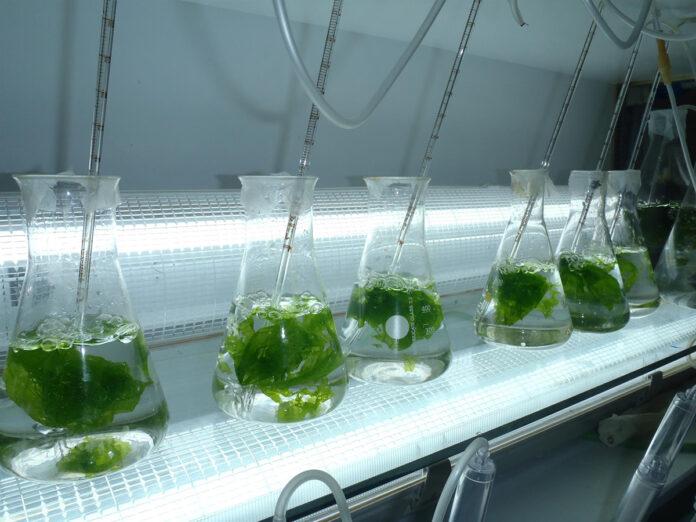 Microalgas y probióticos para engordar a los rodaballos en Almería
