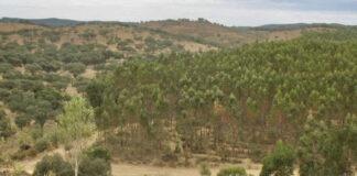 Estudio de la UHU demuestra que el eucalipto mejora los suelos forestales