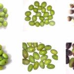 Identificados los genes que determinan la calidad del aceite de oliva