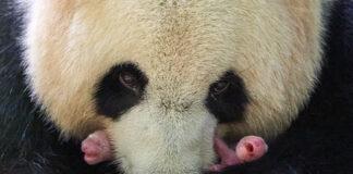 Dos pequeños bebés de oso panda nacen en un zoo francés