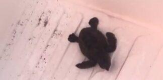 Nacen las primeras tortugas bobas del nido custodiado por voluntarios