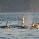 Instan a cumplir el protocolo establecido para evitar incidentes con orcas en Cádiz