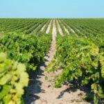 Una uva sana y de calidad empieza a vendimiarse en el Marco de Jerez
