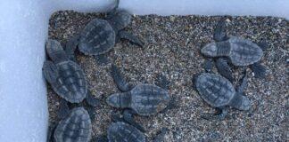 Algeciras cuidará de las tortugas bobas nacidas en Mojácar