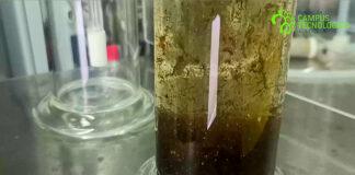 Cádiz aprovechan las algas invasoras para obtener biocombustibles