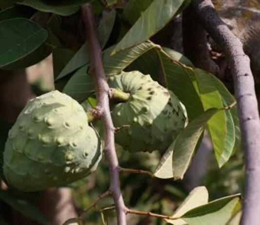 Un guarda rural impide que un ladrón se lleve 400 kilos de chirimoyas en una finca granadina
