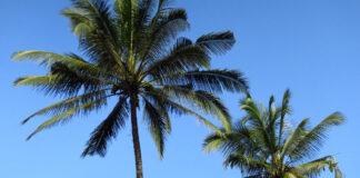 Fallece un trabajador en Nerja tras caerle encima la palmera que talaba